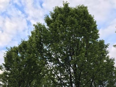 Baumkrone mit Himmel mit leichter Bewölkung